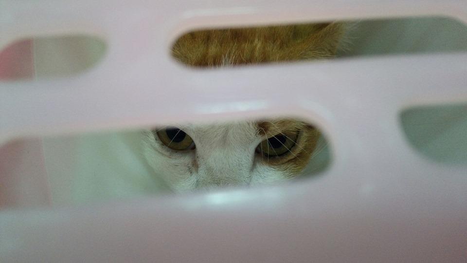 โชคดี Lucky Cat
